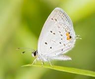 Уменьшительная восточная замкнутая голубая бабочка Стоковые Фото