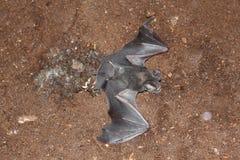 Умерла летучая мышь сморщивать-губы на том основании стоковые фотографии rf