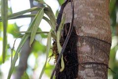 Умершие лист завода орхидеи завяли связанный в дереве стоковая фотография rf
