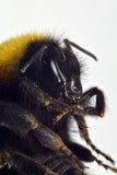 Умершие путают пчела Стоковые Фото