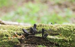Умершие укомплектовывают личным составом грибы пальцев на упаденном дереве стоковые фото