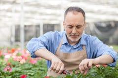 Умелый старший флорист работает на саде стоковое фото