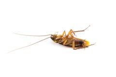 Умирает таракан Стоковое фото RF