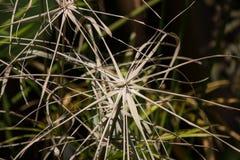 Умирают лист Брайна дерева папируса стоковые фото