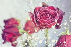 Умирая красные розы Стоковое Изображение