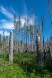 Умирая лес в горах Tatra стоковое изображение