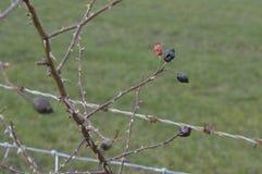 Умирая одичалые плоды шиповника весной стоковые фотографии rf