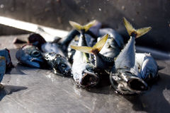 Умирая рыбы скумбрии Стоковые Изображения
