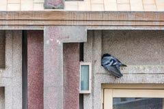 Умирая серый голубь Стоковые Фото