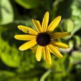 Умирая солнцецвет Стоковая Фотография RF