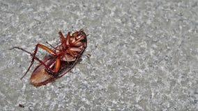 Умирая таракан съеденный концом-вверх муравьев акции видеоматериалы