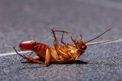 Умирая таракан с ее яичком в конце ее брюшка стоковая фотография