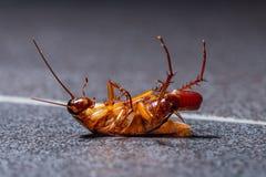 Умирая таракан с ее яичком в конце ее брюшка стоковые изображения rf