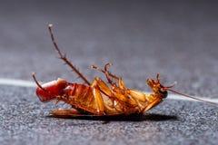 Умирая таракан с ее яичком в конце ее брюшка стоковое фото rf