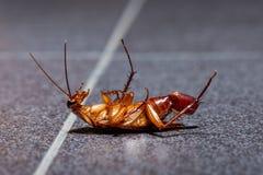 Умирая таракан с ее яичком в конце ее брюшка стоковое фото