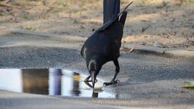 Умная ворона делает еду мягкий перед едой сток-видео