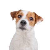 Умная собака смотря камеру Стоковые Фотографии RF