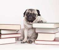 Умная умная собака щенка с стеклами чтения, усаживание мопса вниз между кучами книг стоковые фото