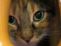 Умный и мудрый взгляд зеленых глаз кота стоковое фото rf