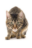 Умный кот готовый для того чтобы атаковать стоковые изображения