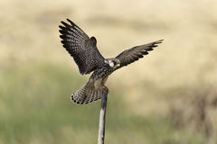 Умный сокол распространил крыла на пне в природе Стоковое Изображение