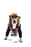Умный щенок в пуловере и стеклах Стоковые Фотографии RF