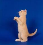 умолять голубому желтому цвету котенка Стоковое Фото