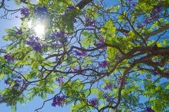 университет вала Сиднея четырехугольника jacaranda стоковые фотографии rf