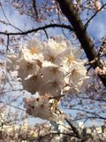 университет tongji shanghai сезона sakura фарфора Стоковые Изображения RF