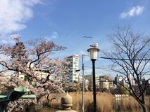 университет tongji shanghai сезона sakura фарфора Стоковые Фото