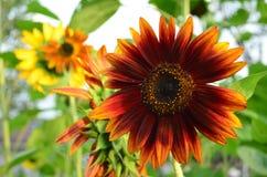 Уникально красный солнцецвет в цветени Стоковая Фотография