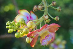 Уникально красота группы пинка, желтых и белых цветка персика, в тайском тропическом парке сада Стоковое Фото