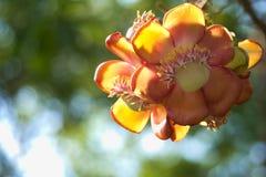 Уникально красота группы пинка, желтых и белых цветка персика, в тайском тропическом парке сада Стоковые Фото