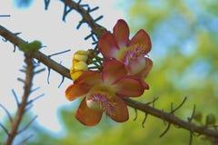 Уникально красота группы пинка, желтых и белых цветка персика, в тайском тропическом парке сада Стоковое Изображение