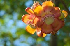 Уникально красота группы пинка, желтых и белых цветка персика, в тайском тропическом парке сада Стоковые Изображения