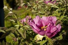 Уникально пионы свежих цветков похожие на дерев фиолетовые в естественной растущей окружающей среде, природе восточной Украины Стоковое фото RF