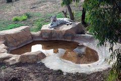 Уникально белый тигр отдыхая около искусственного пруда стоковое фото