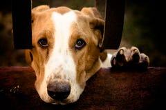Унылая гончая выхода пластов собаки с стороной и левой лапкой над стеной цемента и за металлическими стержнями дома смотря до кам Стоковая Фотография