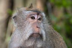 Унылая обезьяна стоковые фото