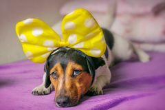 Унылая собака лежит на кресле Симптомы болезни концепции стоковые фото