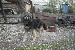 Унылая собака на цепи Стоковое Фото