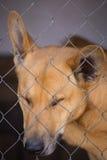 Унылая собака с унылым взглядом в крупном плане клетки Стоковая Фотография RF
