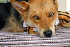 Унылая собака стоковая фотография