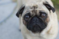 Унылая собака pug Стоковые Изображения