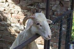 Унылая съемка белых овец в укрытии Стоковое Изображение RF