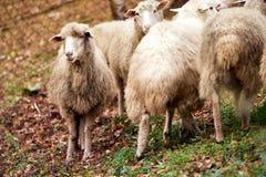 Унылое поголовье овец намордника Животное луга земледелия шерстей группы стоковые изображения