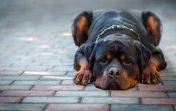 Унылые лож Rottweiler породы собаки Стоковое фото RF