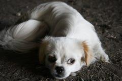 Унылый белый щенок лежа на том основании стоковые изображения