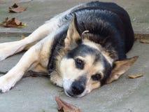 Унылый старый немец Shepard на цепи Собака лежа на том основании и смотря нас Стоковые Фотографии RF