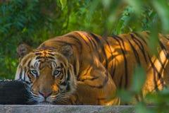 Унылый тигр Стоковые Фото